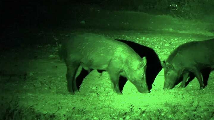 wild-hog-hunting-at-night